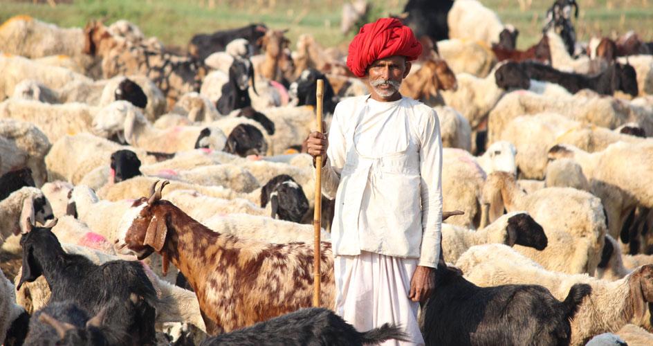 Rabari man during Tribal Tour with his sheeps Gujarat