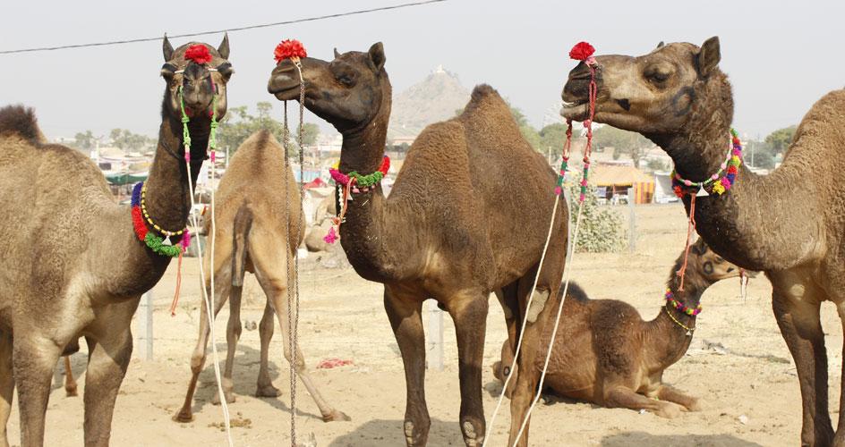 CamelsinPushkar