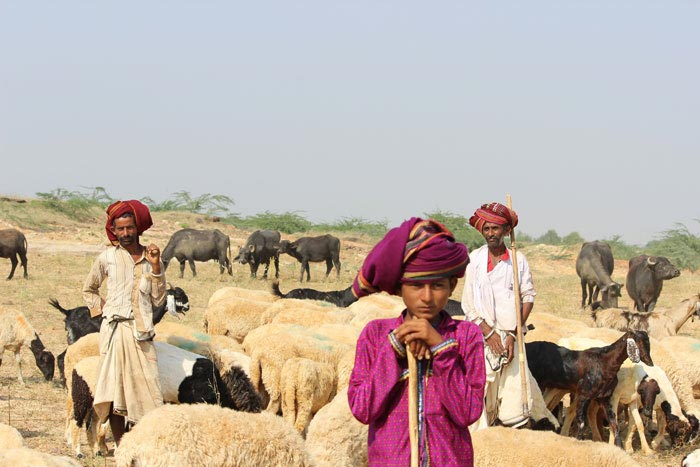 Rabaris Tribal People with their herds in a field near a village in Kutch
