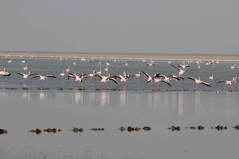 Flamingoes in Little Rann of Kutch- Gujarat Wildlife Tour