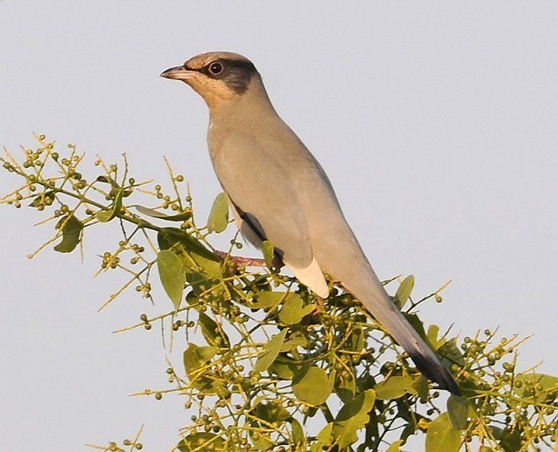 Grey Hypocolius - Gujarat Wildlife Tour