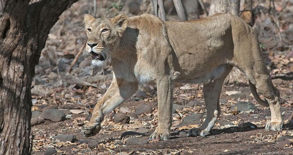 Asiatic lion Gujarat