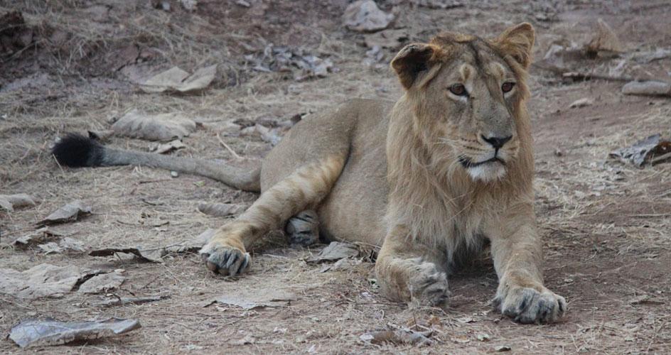 Asiatic lion Wildlife Gujarat