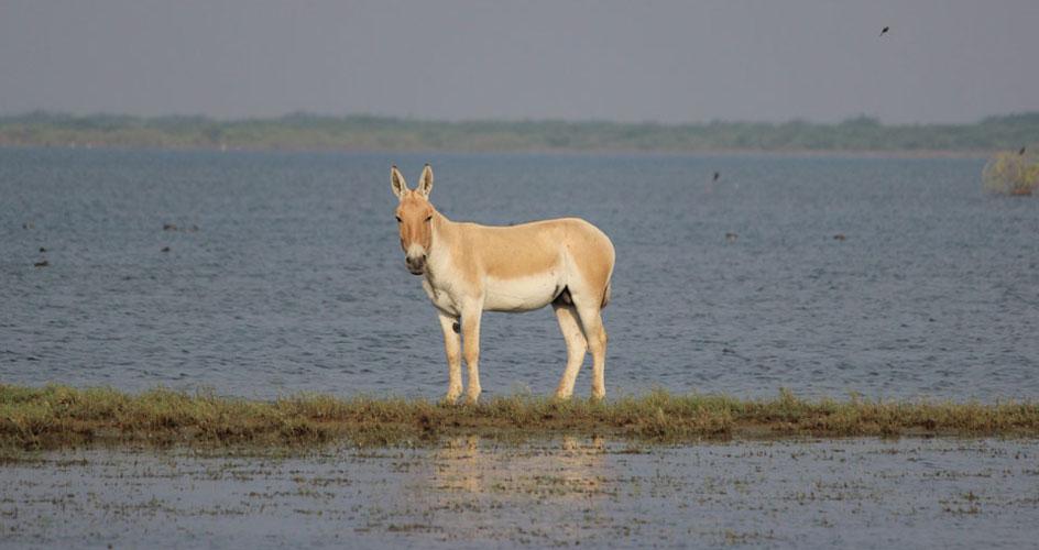 Asiatic Wild Ass Gujarat