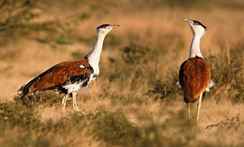 kutch great indian bustard- Gujarat Wildlife Tour