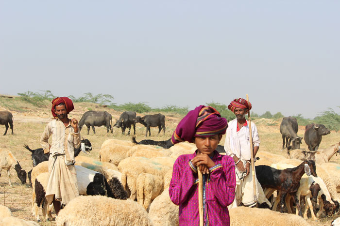 Rabaris Tribal People with their herds in a field near a village in Kutch.