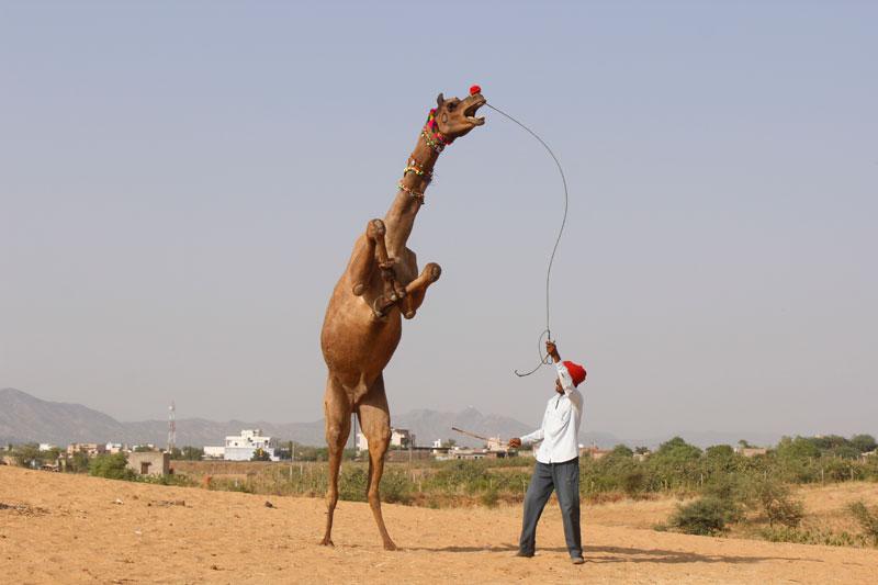 Camel dance in Pushkar
