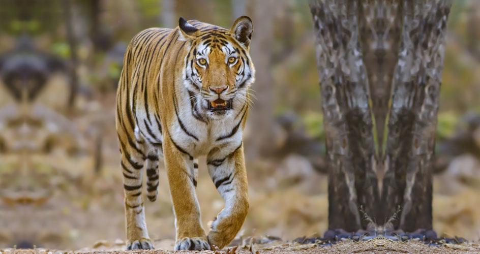 Tiger in rajasthan tour