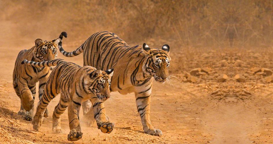 Tiger rajasthan tour