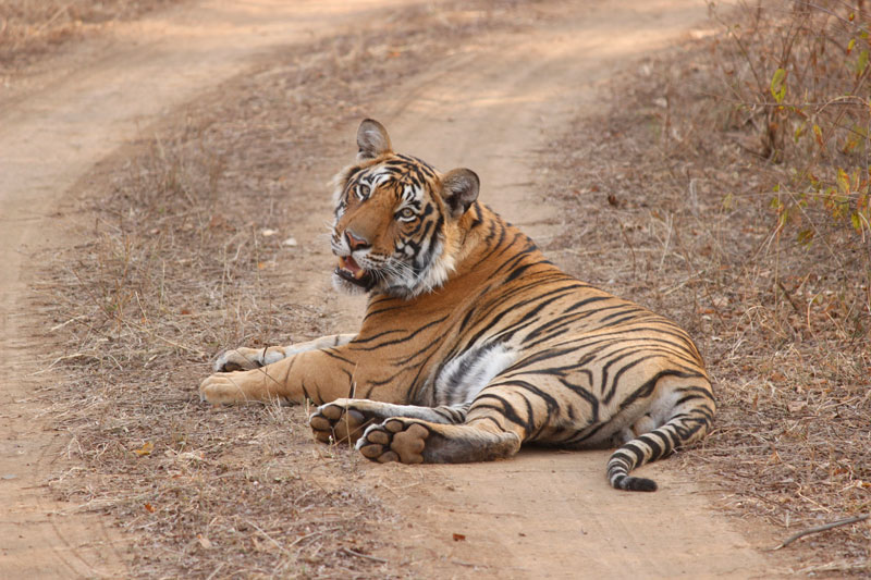 Tiger in Rajasthan