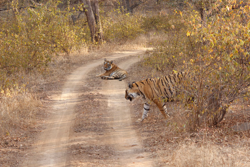 Tiger Sighting in Ranthambhore