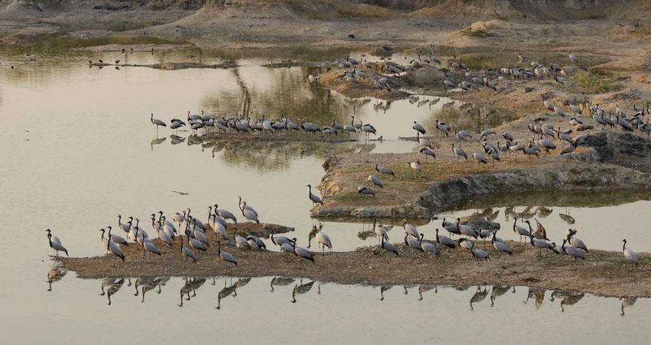 migratory cranes rajasthan tour