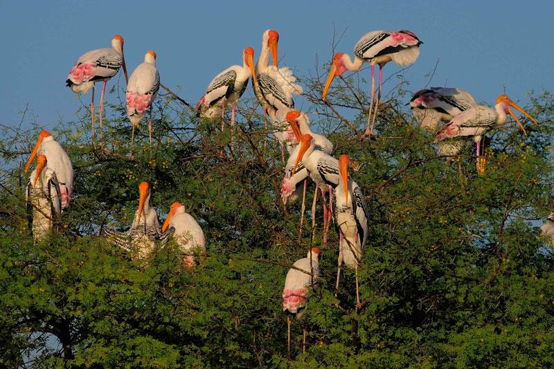 painted stork Bharatpur
